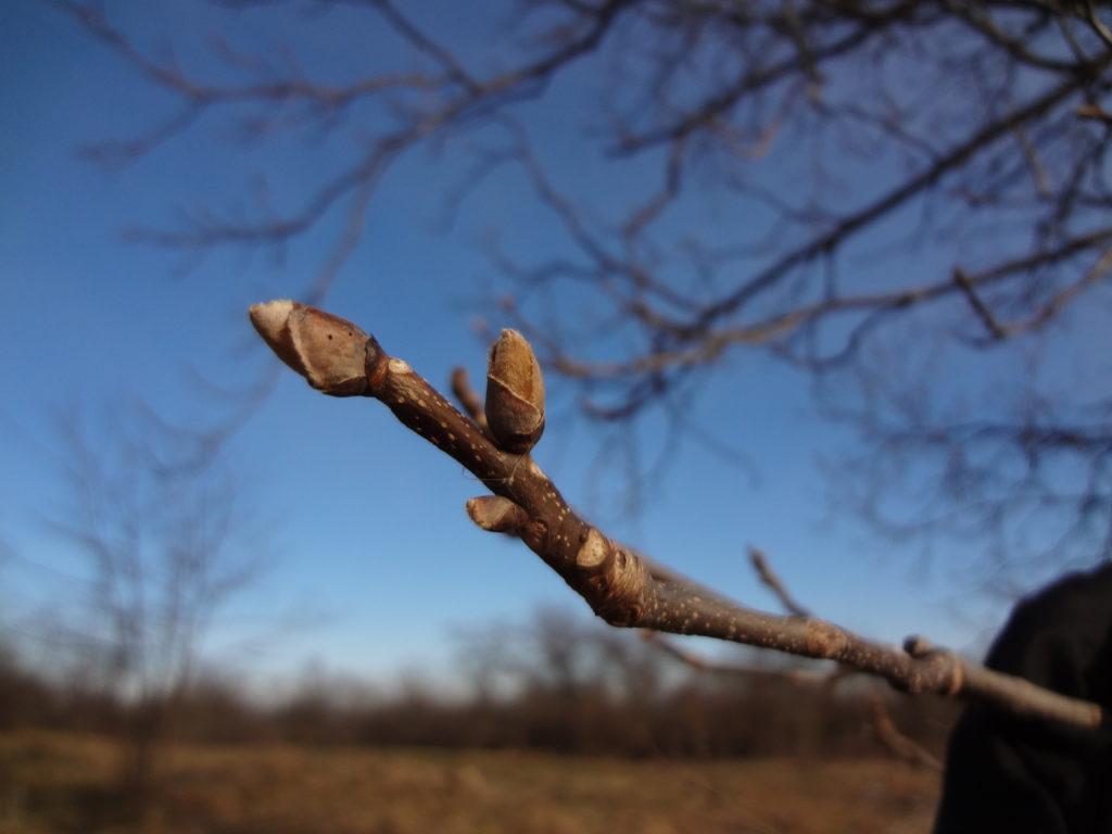 Shagbark hickory lenticels
