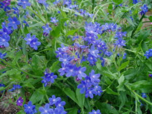 Anchusa azurea flowers