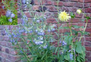 Clear blue Salvia Azurea flowers