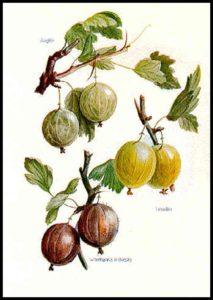 Diagram of gooseberries