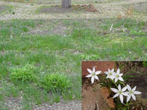 Star of Bethlehem plants