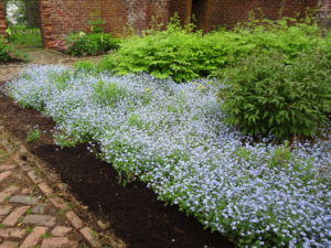 Patch of forget-me-nots flowers