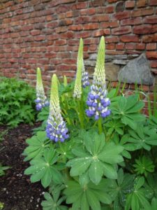 Lupine spires