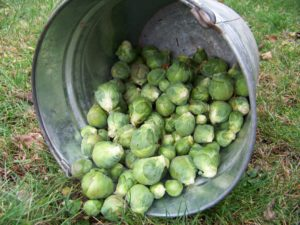 A late fall harvest of Brussels sprouts