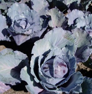 Colorful 'Super red 80' cabbage