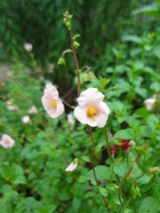 Mask flower (Alonsoa)