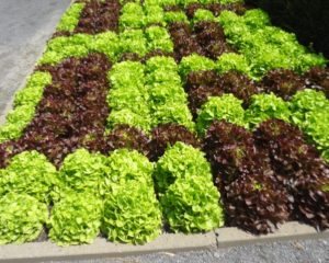 More inspiration: Colorful lettuce display at Montreal Botanic Garden