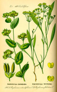 240px-Illustration_Bupleurum_rotundifolium0[1]