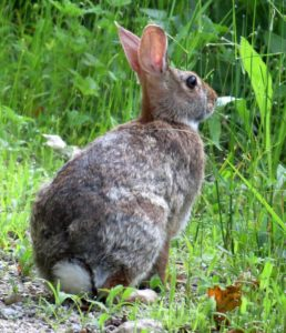 eastern cottontail rabbits