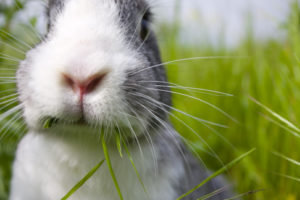 rabbit eating grass