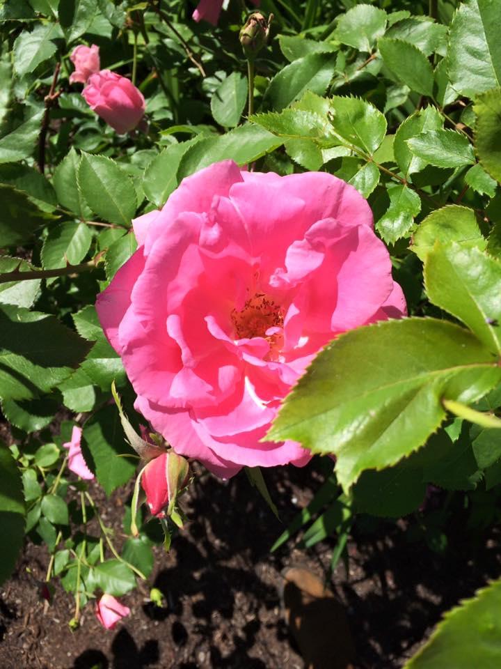 flower-friday-pink-rose