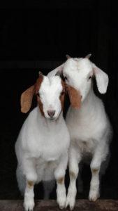 Goats! Iris and Clio