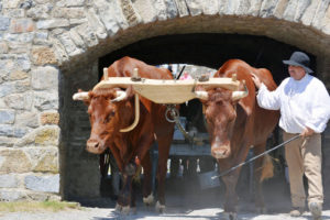 a team of oxen with their skilled teamster.