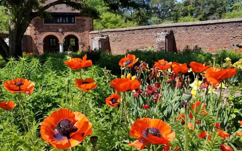 Poppies in King's Garden