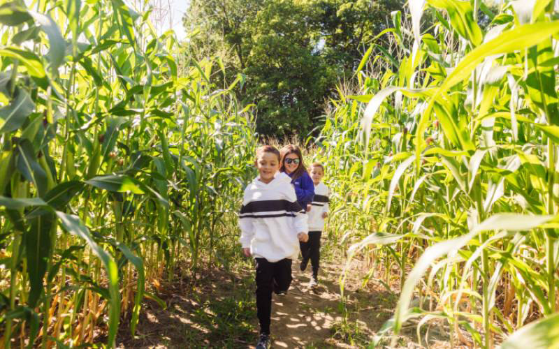 Kids running through corn maze