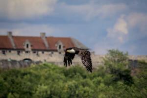 Bald eagle flying in front of fort